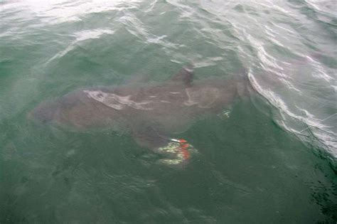 Great white shark hooked off Rock Harbor in Cape Cod Bay